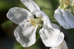 White Apple Tree Flower in Detail Stock Photo