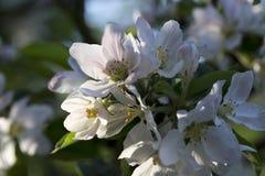 White Apple Tree Flower in Detail Stock Images
