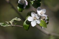 White Apple Tree Flower in Detail Royalty Free Stock Photo