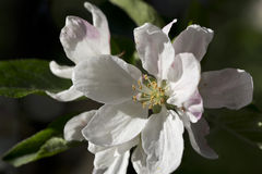 White Apple Tree Flower in Detail Royalty Free Stock Images