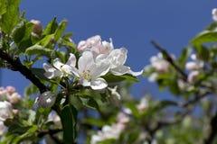 White Apple Tree Flower in Detail Royalty Free Stock Image
