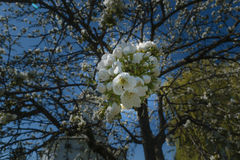 White apple tree flower group in shadow Royalty Free Stock Images
