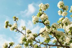 White apple-tree flowers Royalty Free Stock Images