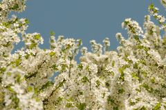 White apple tree flowers. White appletree flowers against blue spring sky Royalty Free Stock Photo
