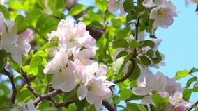 White Apple Tree Flowers. Bee Pollinating Spring Apple Tree Flowers stock video footage