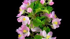 White apple tree flowers stock footage