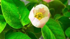 White Apple Tree Flowers. stock video footage