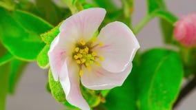 White Apple Tree Flowers. stock footage