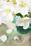 White apple tree flowers Stock Image