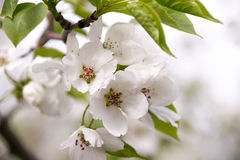 White apple tree flowers closeup. Blooming in a sunny day Royalty Free Stock Photography