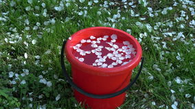 White apple tree petals falling in spring on red  bucket with water  garden stock video