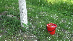 White apple tree petals falling in spring on red  bucket with water stock video