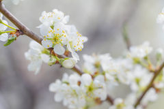 White Apple tree spring blossom Royalty Free Stock Photo