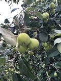 White apples growing on a tree Royalty Free Stock Photography