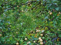 White apples. A lot of white apples at the end of summer Royalty Free Stock Photo