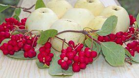 White apples and schisandra. Still life with ripe schizandra and apple stock image