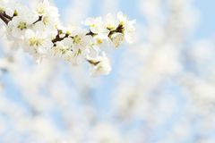 White apricot blossom in spring on blue sky background in the morning. White pure apricot flower in spring on blue sky background in the morning stock photos
