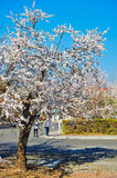 The white apricot blossom tree Stock Photography