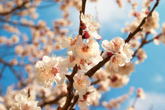 White apricot flowers Royalty Free Stock Photography