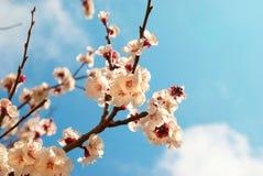 White apricot flowers Royalty Free Stock Photo