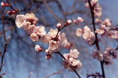 White apricot flowers. Beautiful flowering apricot tree. Blue sky, bokeh royalty free stock images