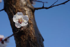 White apricot flowers branch on a spring day. Closeup Royalty Free Stock Images