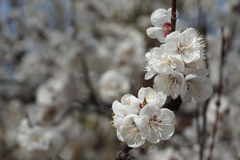 White apricot flowers branch on a spring day. Closeup Royalty Free Stock Photography