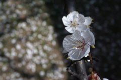White apricot flowers branch on a spring day. Closeup Stock Image