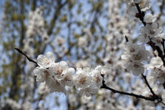 White apricot flowers branch on a spring day. Closeup Royalty Free Stock Photos