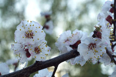 White apricot flowers branch on a spring day. Closeup Stock Photography