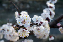 White apricot flowers branch on a spring day. Closeup Stock Photos