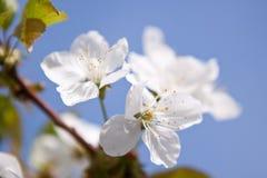 White apricot flowers Stock Photo