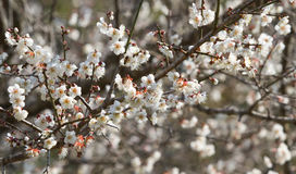 White apricot tree flower near a spring Stock Image