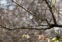 White apricot tree flower near a spring Stock Photos