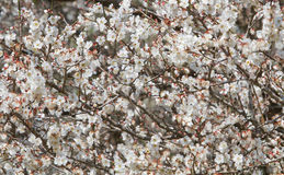 White apricot tree flower near a spring Royalty Free Stock Photo