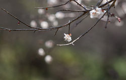 White apricot tree flower near a spring Royalty Free Stock Images