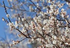White apricot tree flower Royalty Free Stock Photos