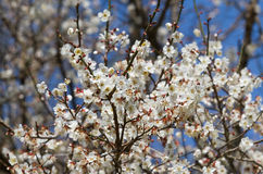 White apricot tree flower Stock Photography
