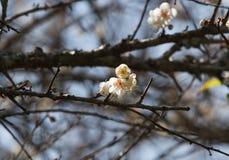 White apricot tree flower Stock Photos