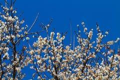 White apricot tree flower Royalty Free Stock Image
