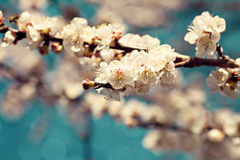 Apricot blossoms Royalty Free Stock Images