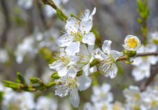 White apricot tree flowers Royalty Free Stock Images