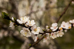White apricot tree flowers. In spring Royalty Free Stock Photos