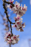 White apricot tree flowers in spring on a blue background Stock Image