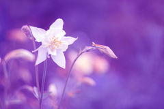 The white Aquilegia flower on a lilac background. Selective focus. Royalty Free Stock Images