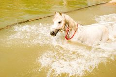 A white  Arab horse Royalty Free Stock Photos
