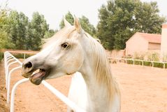 White  Arab horse Stock Image