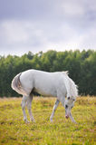 White arab horse stock photos
