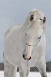 White arab horse Royalty Free Stock Photo