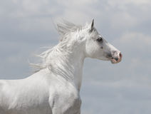White arab horse. Portrait with blue sky background behind Royalty Free Stock Images